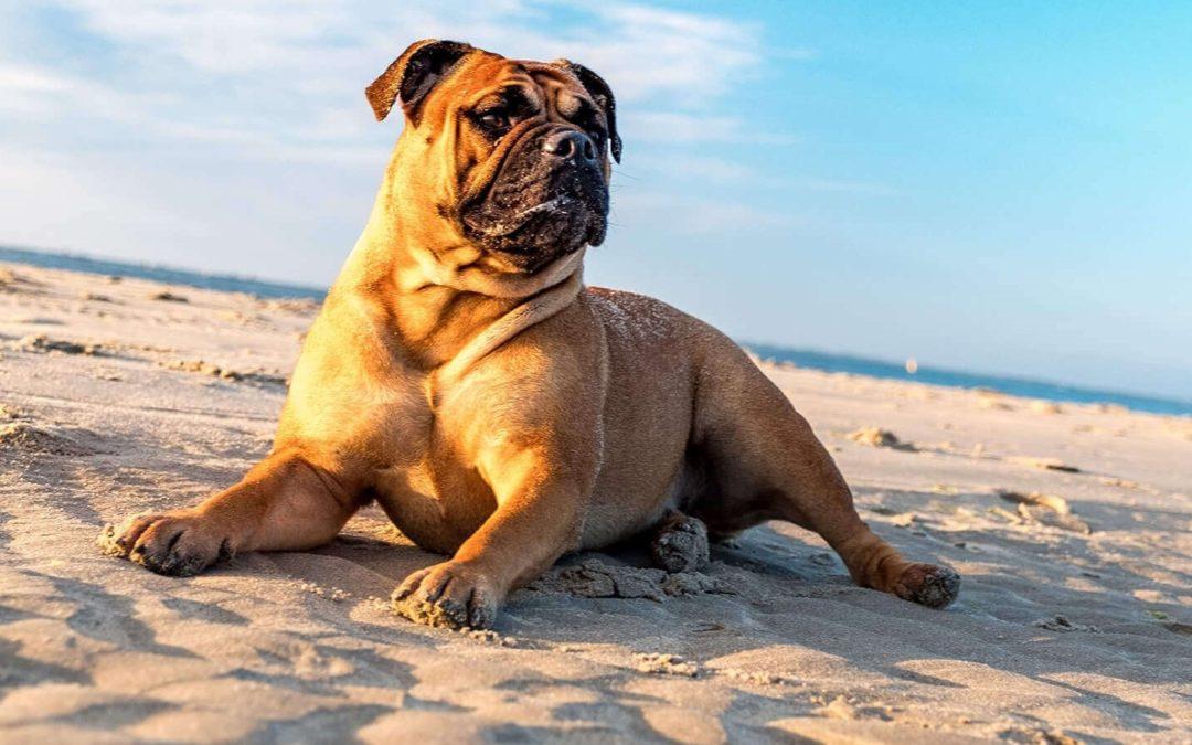 perro bulldog sentado en la arena de la playa